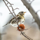 Fieldfare  regales apple in a snowstorm. Fieldfare (Turdus pilaris) regales apple in a snowstorm Royalty Free Stock Images