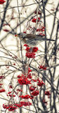 Fieldfare regales rowan Stock Images