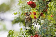Fieldfare on rowan-tree Royalty Free Stock Photos