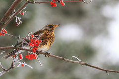 Fieldfare sitting on the branches Sorbus covered with frost. Fieldfare sitting on the branches covered with frost, mountain ash berries Royalty Free Stock Photo