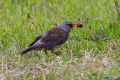 Fieldfare sitting on meadow Stock Image