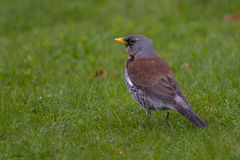 Fieldfare sitting on meadow Royalty Free Stock Photo