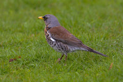 Fieldfare sitting on meadow Royalty Free Stock Images