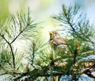 Fieldfare sitting among pine branches in the forest Stock Photo