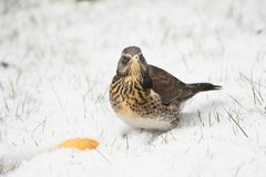 Fieldfare sitting in snow Royalty Free Stock Photography