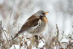Fieldfare Royalty Free Stock Images