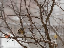 Fieldfare in snowy weather. Fieldfare sitting on a tree branch in snowy weather Royalty Free Stock Photography