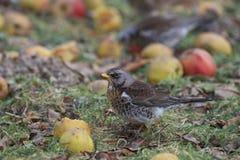 Fieldfare som äter äpplen Royaltyfri Foto