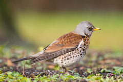 Fieldfare on spring day Royalty Free Stock Photo