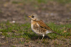 Fieldfare on spring day3 Royalty Free Stock Images