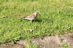 Fieldfare Stock Photo