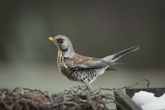 Fieldfare Royalty Free Stock Photos