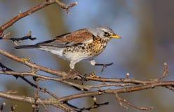 Fieldfare walking carefully on apple-tree`s branch in winter royalty free stock image
