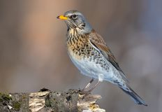 Fieldfare stands on old snag in a sunny weather royalty free stock images