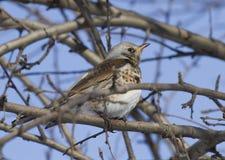 Fieldfare Thrush sitting on a tree branch. Stock Image
