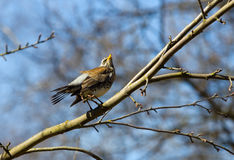 Fieldfare on a tree branch Stock Images