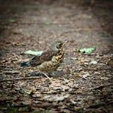 Fieldfare, Turdus pilaris. A young fledgeling of a Fieldfare, Turdus pilaris Stock Photos