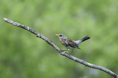 Fieldfare, turdus pilaris Royalty Free Stock Photo