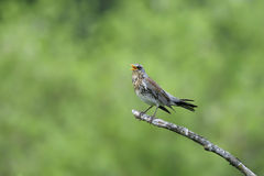 Fieldfare, turdus pilaris Stock Photography
