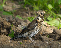 Fieldfare, Turdus pilaris. A young fledgeling of a Fieldfare. The Fieldfare (Latin name: Turdus pilaris) in the wild nature Stock Image