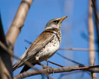Fieldfare, Turdus pilaris Royalty Free Stock Image