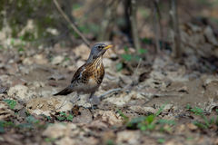 Fieldfare, Turdus pilaris Stock Photo