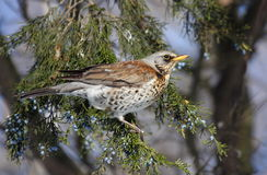 Fieldfare (Turdus pilaris) Royalty Free Stock Photos