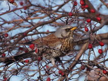 Fieldfare, Turdus pilaris Stock Images