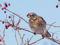 Fieldfare, Turdus pilaris Royalty Free Stock Photography