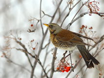Fieldfare (Turdus pilaris) Royalty Free Stock Photography