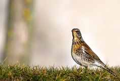 Fieldfare. Turdus pilaris. Royalty Free Stock Photos