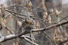 Fieldfare, (Turdus pilaris) Stock Images