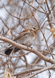 Fieldfare (Turdus pilaris). For the last few years fieldfares have stayed in the ural region and have not migrated to the southern regions Royalty Free Stock Images