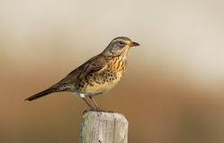 The Fieldfare ( Turdus pilaris) Royalty Free Stock Photos
