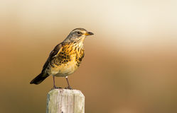 The Fieldfare ( Turdus pilaris) royalty free stock image