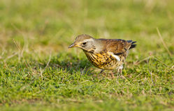 The Fieldfare ( Turdus pilaris) Royalty Free Stock Photography