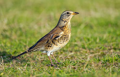 The Fieldfare ( Turdus pilaris) Stock Photos