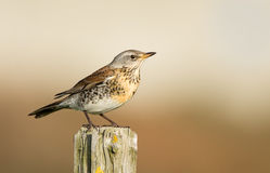 The Fieldfare ( Turdus pilaris) Royalty Free Stock Images