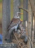 Fieldfare Turdus pilaris Stock Photos