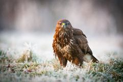 The Common Buzzard Royalty Free Stock Images