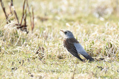 Fieldfare Turdus pilaris in the grass Royalty Free Stock Image