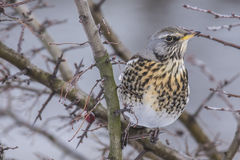 Fieldfare (Turdus pilaris) Royalty Free Stock Photo