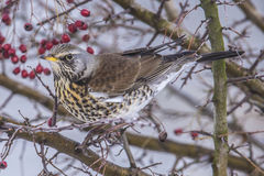 Fieldfare (Turdus pilaris) Stock Photos