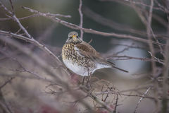 Fieldfare (Turdus pilaris) Royalty Free Stock Image