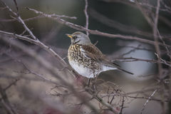 Fieldfare (Turdus pilaris) Stock Images