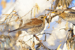 Fieldfare (Turdus pilaris) Stock Photography