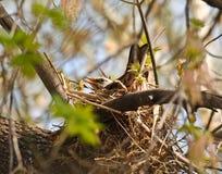 Fieldfare (Turdus pilaris) on the nest Stock Photography