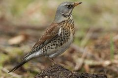 A stunning Fieldfare Turdus pilaris perched on a small dirt mound on the ground. It has been hunting for earthworms to eat. Stock Images