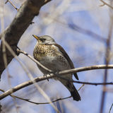 Fieldfare, Turdus pilaris, portrait in branches, selective focus, shallow DOF Stock Image