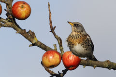 Fieldfare, Turdus pilaris Royalty Free Stock Images